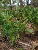 Saw Palmetto - Serenoa repens - 06.01.2014 - 08.54.59