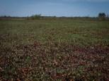 Shoreline Seapurslane - Sesuvium portulacastrum - 07.02.2012 - 13.16.54