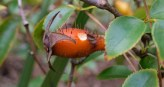 Cherokee Rose - Rosa laevigata - 12.19.2014 - 12.27.37