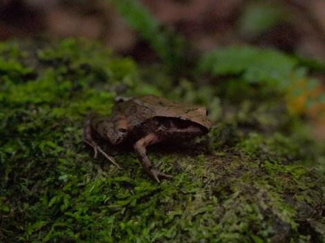 Craugastoridae - Craugastor underwoodi - 07.04.2015 - 14.37.37