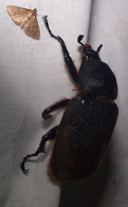 Female rhinocerus beetle - scarabidae - 06.28.2015 - 21.26.50