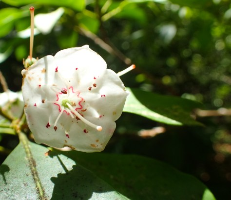 Mountain Laurel - Ericaceae - Kalmia latifolia - 06.03.2016 - 14.11.46