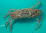 Catching and marking pseudothelphusidae crabs - 07.13.2016 - 08.32.48
