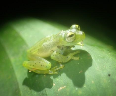 Centrolenidae - Centrolenella prosoblepon - Emerald Glass Frog - 07.10.2016 - 19.12.55