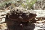 20180513 - Short Horned Lizard - Phrynosoma douglassi 016