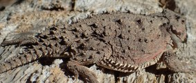 20180513 - Short Horned Lizard - Phrynosoma douglassi 020