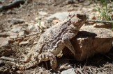 20180514 - Short Horned Lizard - Phrynosoma douglassi 022