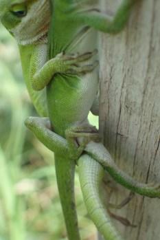 20180519 - Anolis carolinensis mating-12