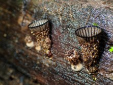 20180606 - Bird Nest Fungus 003