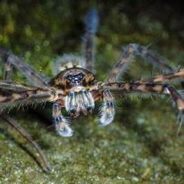 20180627 - Trichnella spider 004