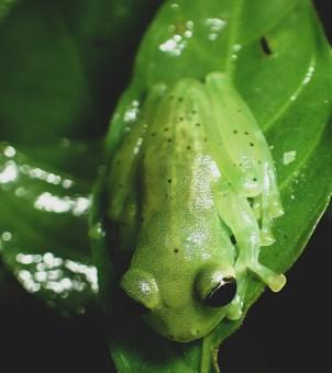 20180603 - Emerald Glass frog - Centrolenidae- Centrolenella prosoblepon 003