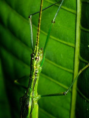 20180626 - Stick insect 004