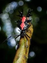 20180704 - Milacidae Orbweaver 003