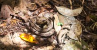 Crotalidae - Jumping pit viper Atropoides nummifer - 08.03.2015 - 09.52.21