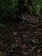 Crotalidae - Jumping pit viper Atropoides nummifer - 08.03.2015 - 10.00.23