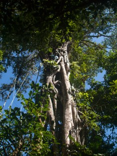 Las Cruces Strangler fig - 08.03.2015 - 08.53.35