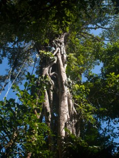 Las Cruces Strangler fig - 08.03.2015 - 08.53.37