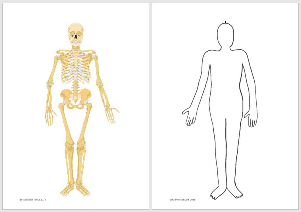 image regarding Printable X Rays called Human x-ray printable MontessoriSoul