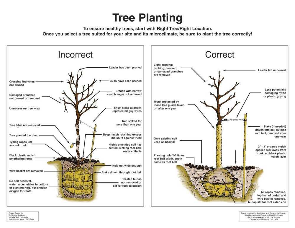 medium resolution of tree planting diagram