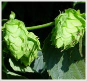 Hops growing at Monticello's vegetable garden