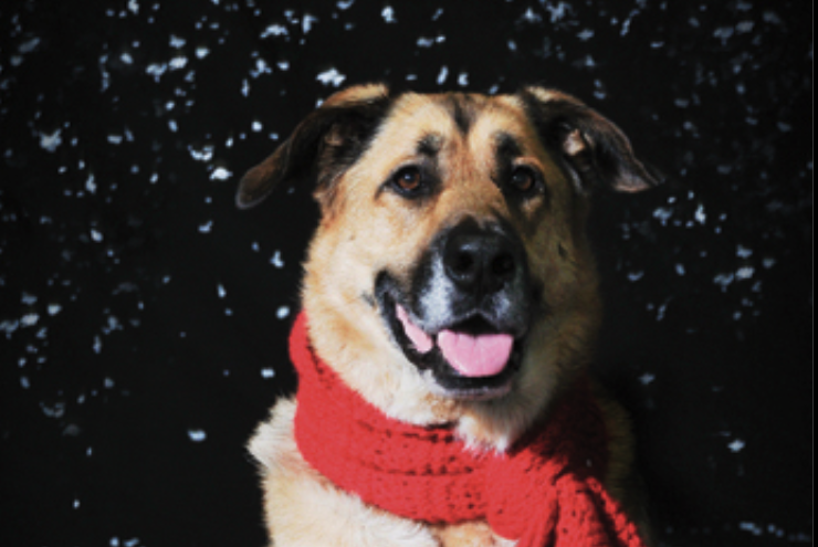 Holiday Cards For The SPCA Montreal Dog Blog