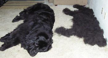 Ask A Vet My dog is shedding a lot  Montreal Dog Blog