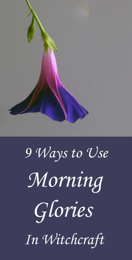 How to use morning glories in witchcraft and magick.