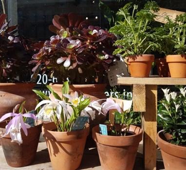 GeannuleerdBuitenplanten; basic verzorging en vermeerderen.