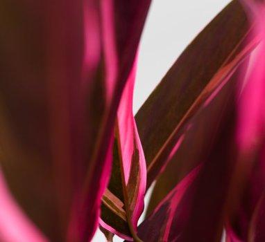 Pinkplants