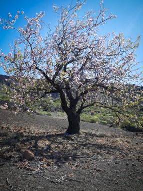 Amandelboom bij Las Manchas