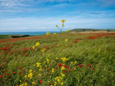 In de late lente en vroege zomer zijn sommige heuvels bedekt met klaprozen