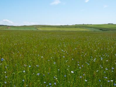 Een veld met vlas, een gewas dat onder meer dient als grondstof voor linnen