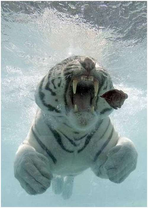 Ferocious-tiger-in-the-water-2
