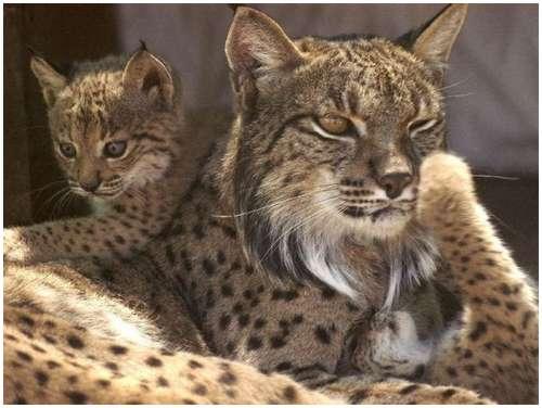 Iberian-Lynx