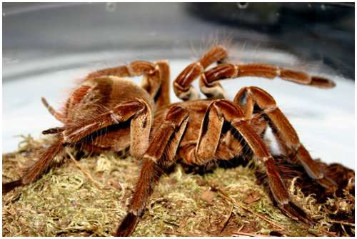 Goliath-bird-eating-spider