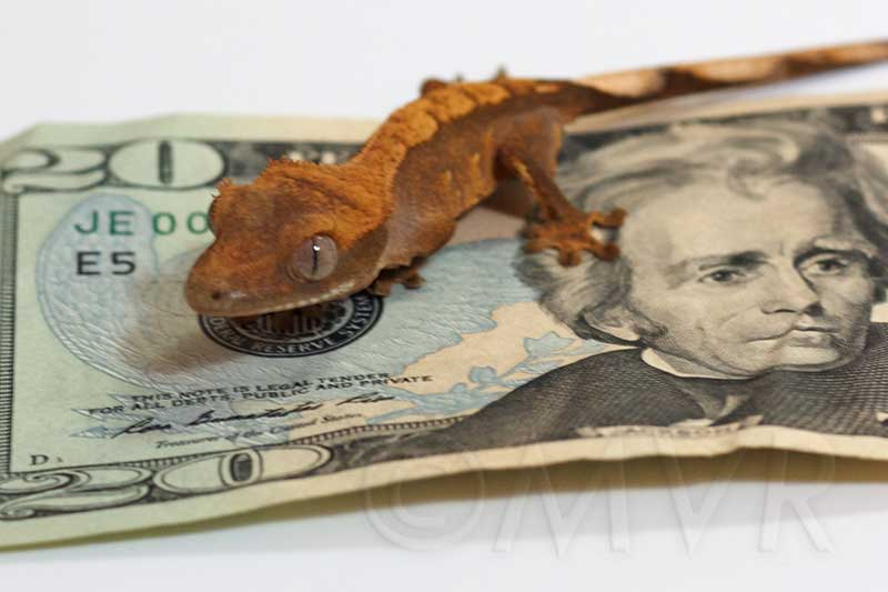 Image result for gecko and money