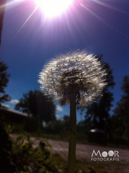 iPhonografie iPhone Foto Paardenbloem