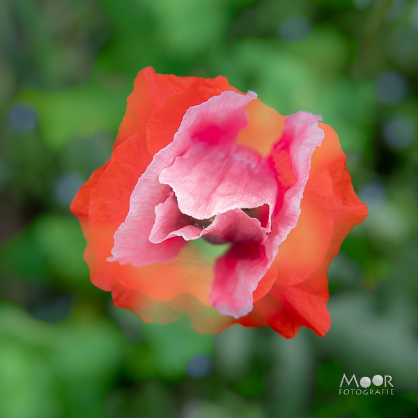 Woordloze Woensdag Rood Roze Papaver