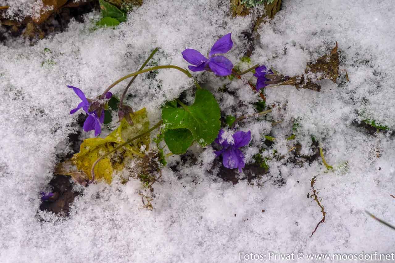 Schneeblume (1 von 1)