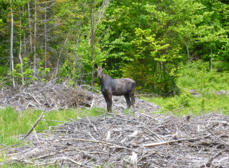 Moose Rockwood Maine