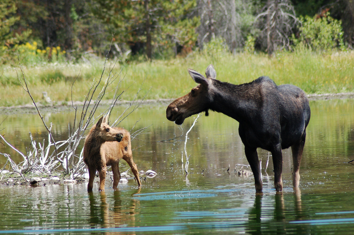 Wildlife  Moose Head Ranch  a Jackson Hole Dude Ranch Vacation Destination
