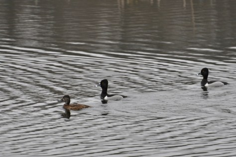 Lesser Scaups hanging out at the proving grounds.