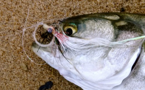 The only downside to bluefish is that they will destroy a fly with their sharp teeth.
