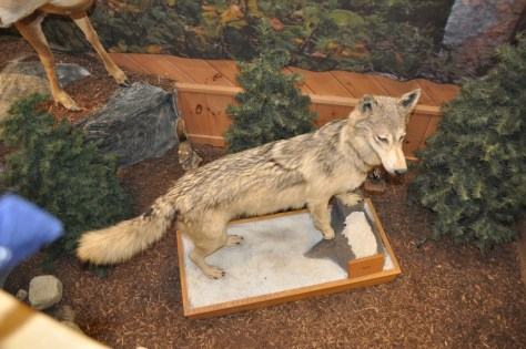 Maine has wolves, this one had the misfortune of being on display at L.L. Bean.