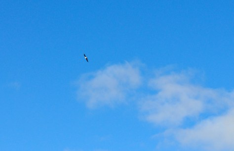 Osprey doing a fly by.
