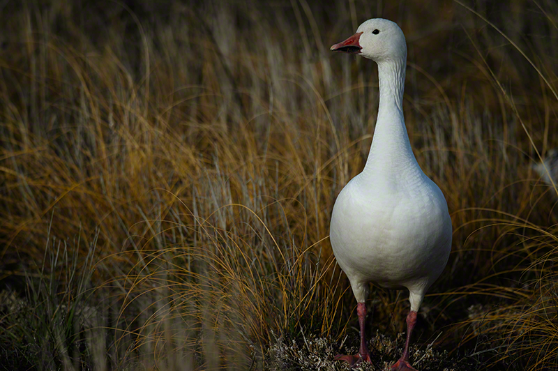 Snow Geese 3966