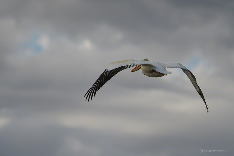 White Pelican captured by D500, 300PF