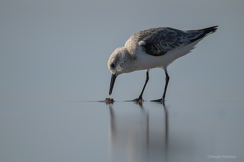 Sanderling captured by D5 / 800mm