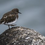 The Little Black Turnstone