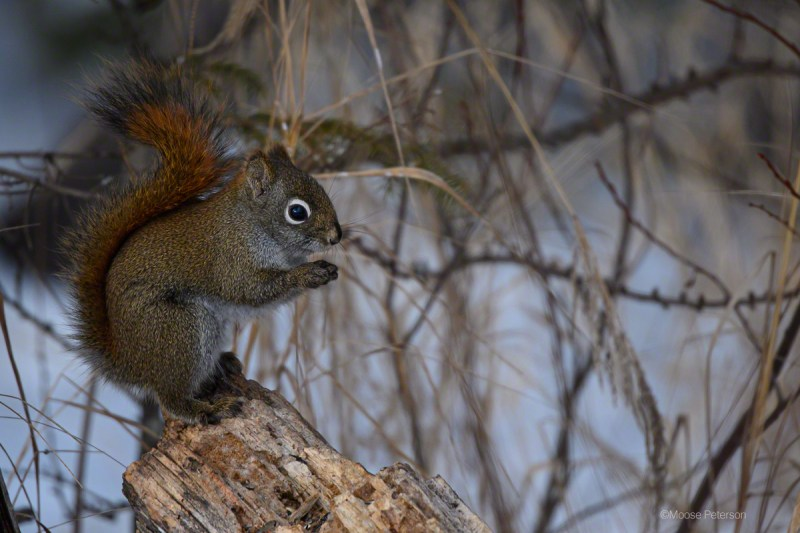 American Red Squirre